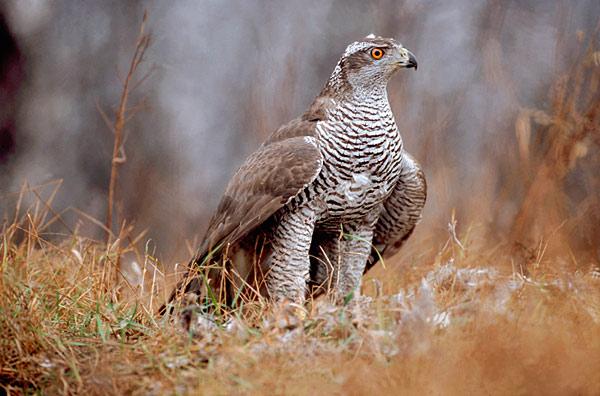 Ptaki Polskie Ptaki Drapieżne