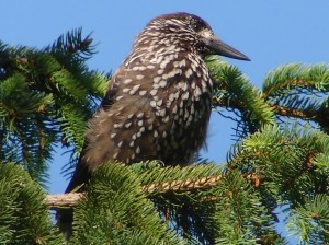 orzechowka-ptak